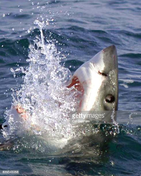 great white attacks - shark attack - fotografias e filmes do acervo
