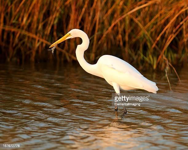 Great White Egret (Ardea alba) Catching Shrimp amoung Reeds