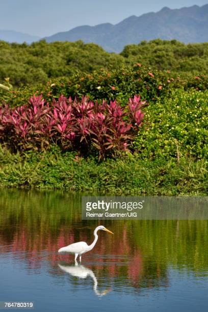 Great White Egret fishing in a pond with tropical plants and Sierra Madre Mountains Mexico