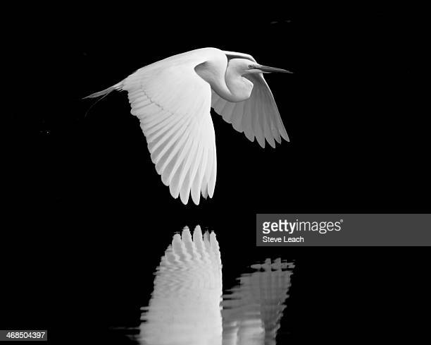 Great White Egret Flight
