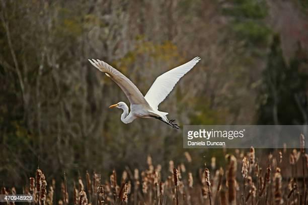Great White Egret flying away
