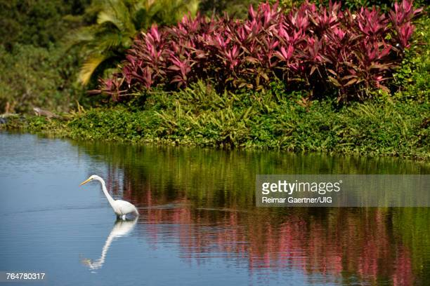 Great white egret hunting in a pond in Mexico with iguana and red Ti plant Mexico