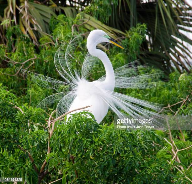 great white egret in breeding color and plumage - rookery stock pictures, royalty-free photos & images