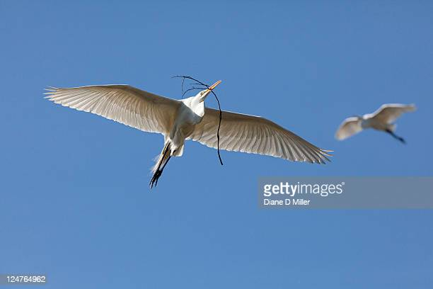 great white egret - freshwater bird stock photos and pictures