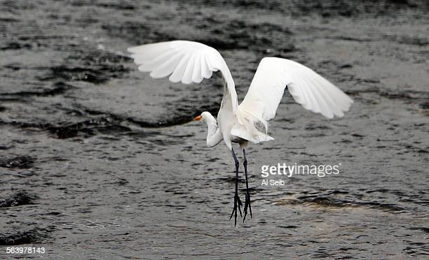 A Great White Egret takes flight near the Sepulveda Dam in the Sepulveda Basin Recreation Area just west of the 405 freeway and South of Burbank Blvd...