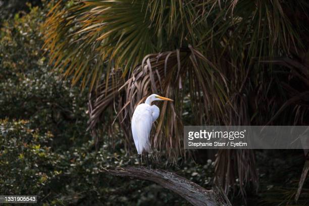 great white egret wading bird perched on a tree in swamp of myakka river state park in sarasota - florida us state stock pictures, royalty-free photos & images