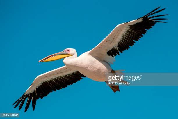 A great white pelican flies over a reservoir in Mishmar HaSharon north of the Israeli city of Tel Aviv on October 15 2017 Thousands of migrant...