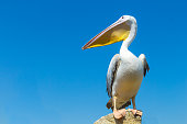 Great white pelican on the field against the blue sky.