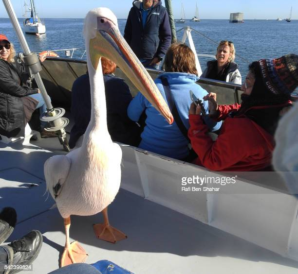 great white pelican on tour boat - walvis bay stock photos and pictures