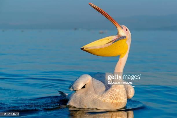 Great white pelican or eastern white pelican or rosy pelican or white pelican Pelecanus onocrotalus Lake Naivasha Naivasha Great Rift Valley Kenya