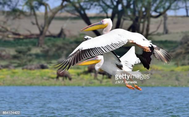 great white pelican (pelecanus onocrotalus) - lake nakuru - fotografias e filmes do acervo