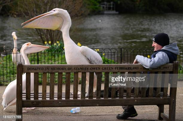 Great White Pelican shares a park bench with a man on April 01, 2021 in London, England.