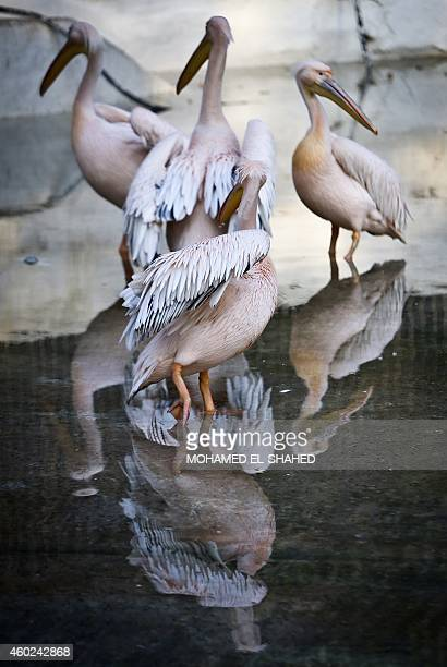 Great White pelican's cool off in a pool at the Giza zoo in Cairo on December 10 2014 Khedive Ismail the ruler of Egypt from 18631879 built the zoo...