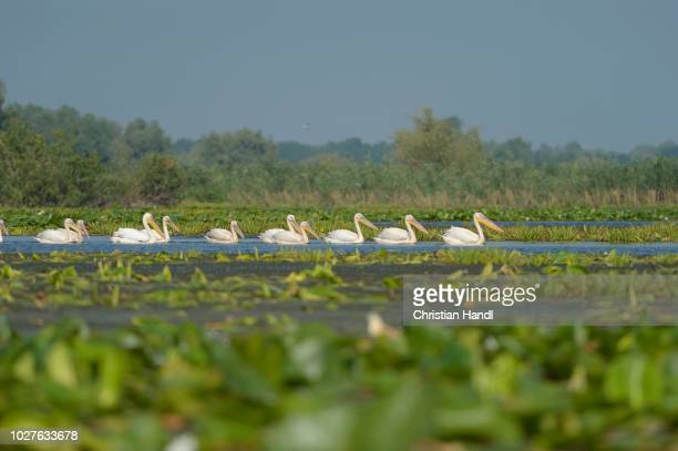 great white pelicans (pelecanus onocrotalus), danube delta, murighiol, romania - vista lateral stock pictures, royalty-free photos & images