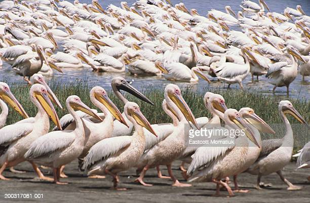 great white pelicans walking in one direction, others swimming in lake - category:cs1_maint:_others stock pictures, royalty-free photos & images