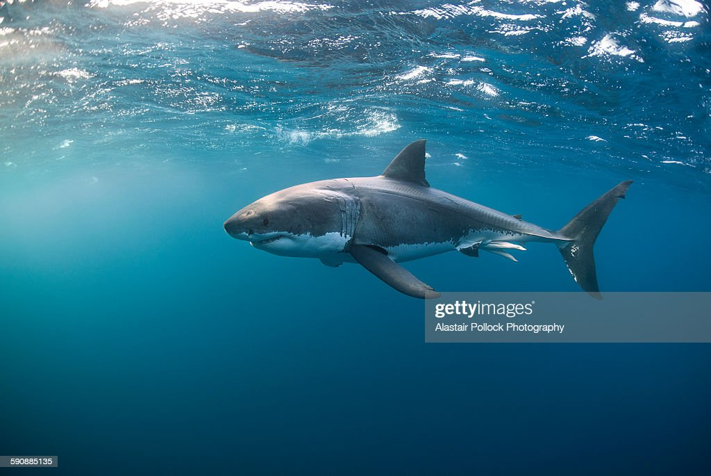 Great White Shark at the Surface : Foto de stock