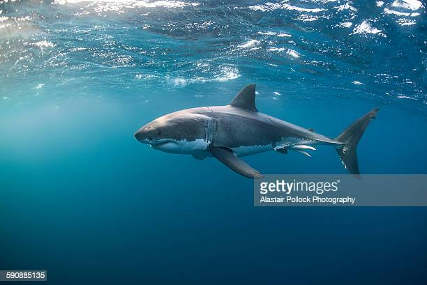 great white shark at the surface - great white shark stock photos and pictures