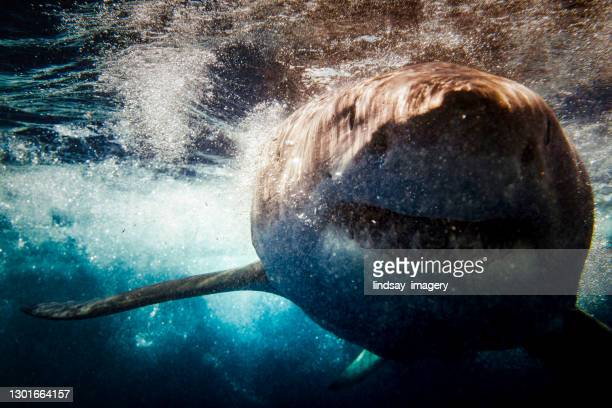 great white shark attack mode beneath the surface in high contrast - animal behaviour stock pictures, royalty-free photos & images
