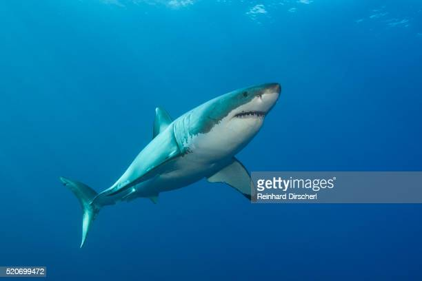 Great White Shark, Australia