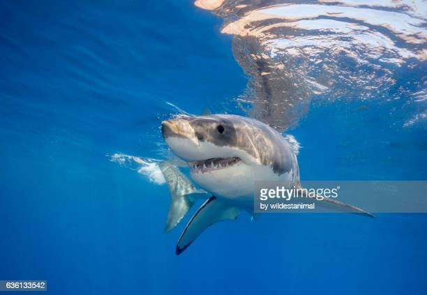 great white shark bahamas - great white shark stock pictures, royalty-free photos & images