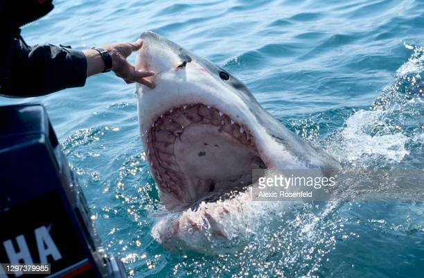 Great white shark baited by the animal guide, Andre Hartmann, surfaces with an impressive open mouth on December 02, 2007 in Gansbaii, South Africa,...