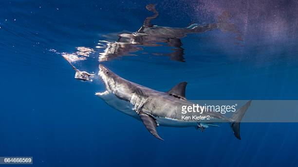 great white shark biting fishing bait - great white shark stock photos and pictures