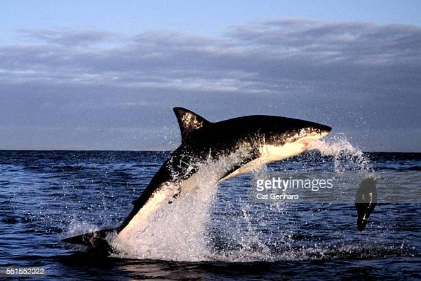 great white shark breach - attack on seal decoy - great white shark stock photos and pictures
