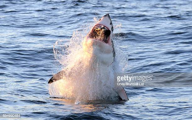 Great White Shark breaching at Seal Island False Bay South Africa