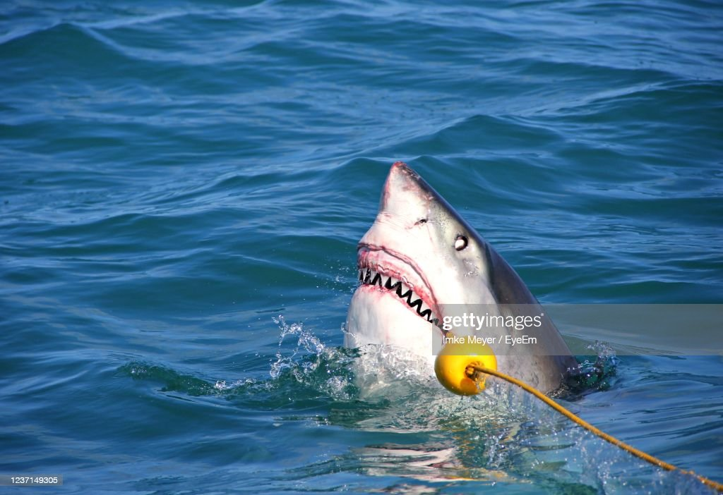 Great White Shark Breaching Out Of The Water, Teeth Revealed : Stock Photo