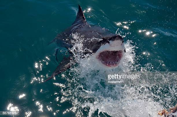 great white shark cage diving mossel bay - mossel bay stock pictures, royalty-free photos & images