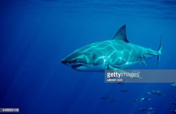 Great White Shark Carcharodon carcharias Australia Dangerous Reef Neptune Island