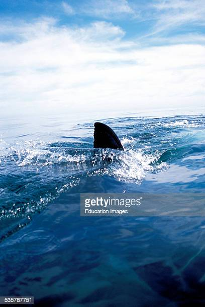 Great White Shark Carcharodon carcharias dorsal fin off the coast of Gansbaai quite close to Dyer Iceland and Geyser Rock a great white shark breaks...