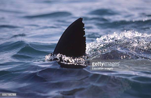 Great White Shark Carcharodon carcharias dorsal fin six nautical miles off the coast of Gansbaai quite close to Dyer Iceland and Geyser Rock a great...