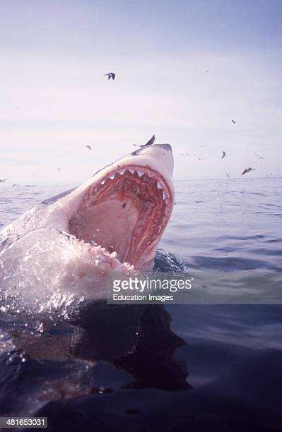 Great White Shark Carcharodon carcharias on the water surface six nautical miles from the coast of Gansbaai quite close to Dyer Island and Geyser...