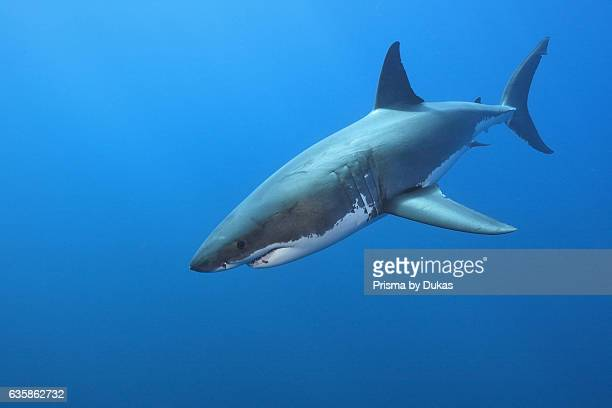 Great White Shark Carcharodon carcharias South Africa