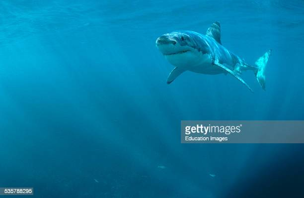Great White Shark Carcharodon carcharias swims just below water surface six miles off the coast of Gansbaai quite close to Dyer Iceland South Africa...