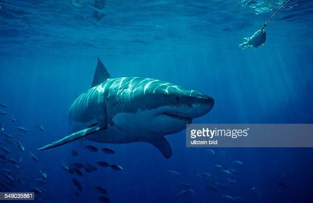 Great White Shark Carcharodon carcharias USA California Pacific Ocean Farallon Island San Francisco Bay