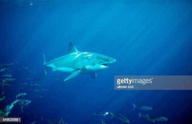 Great White Shark Carcharodon carcharias USA California Pacific Ocean Farallon Island San Francisco Bay