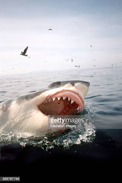 Great White Shark Carcharodon carcharias with open mouth breaks through the water surface in the vicinity of Geyser Rock and Dyer Iceland off the...