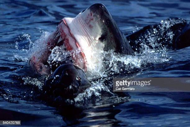 great white shark close-up - megalodon stock photos and pictures