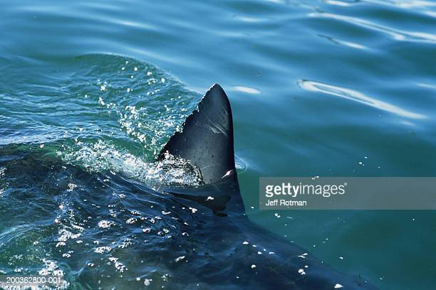 great white shark (carcharodon carcharias), dorsal fin above water - shark fin stock photos and pictures