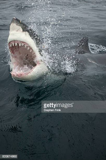 great white shark emerging from ocean - animal teeth stock pictures, royalty-free photos & images