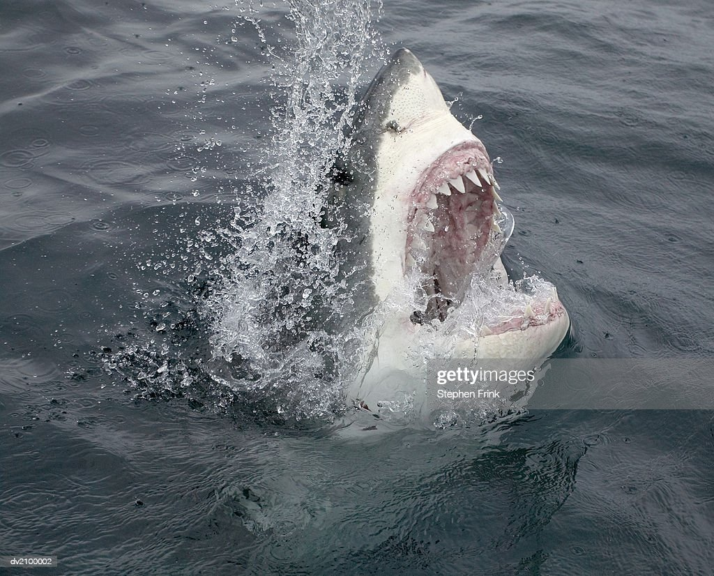 Great White Shark Emerging From the Water : Foto de stock