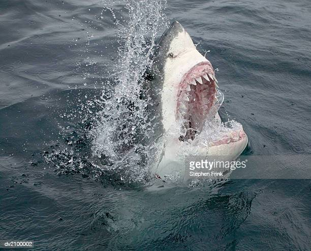 great white shark emerging from the water - sharks stock pictures, royalty-free photos & images