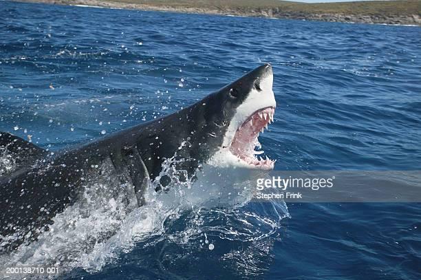 great white shark (charcarodon carcharias) emerging from water - ilha netuno - fotografias e filmes do acervo