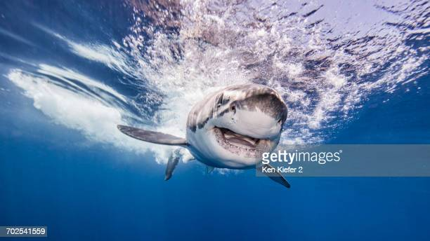 great white shark entering water after attacking bait, underwater view - great white shark stock photos and pictures