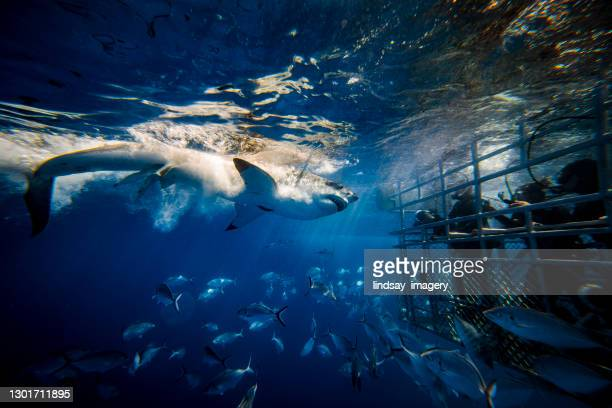 great white shark feeding with onlooking cage divers - violence stock pictures, royalty-free photos & images