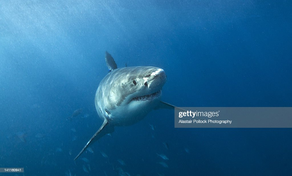 Great white shark in South Australia : Stock Photo