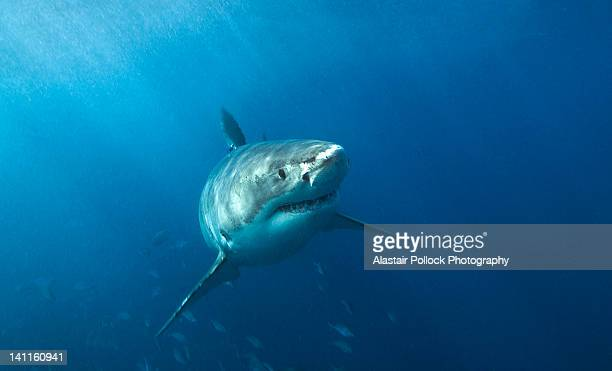 great white shark in south australia - great white shark stock photos and pictures