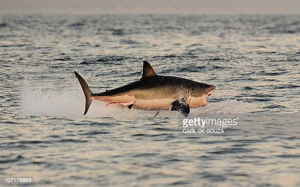 A Great White shark jumps out of the water as it hunts Cape fur seals near False Bay on July 4 2010 AFP PHOTO/Carl de Souza